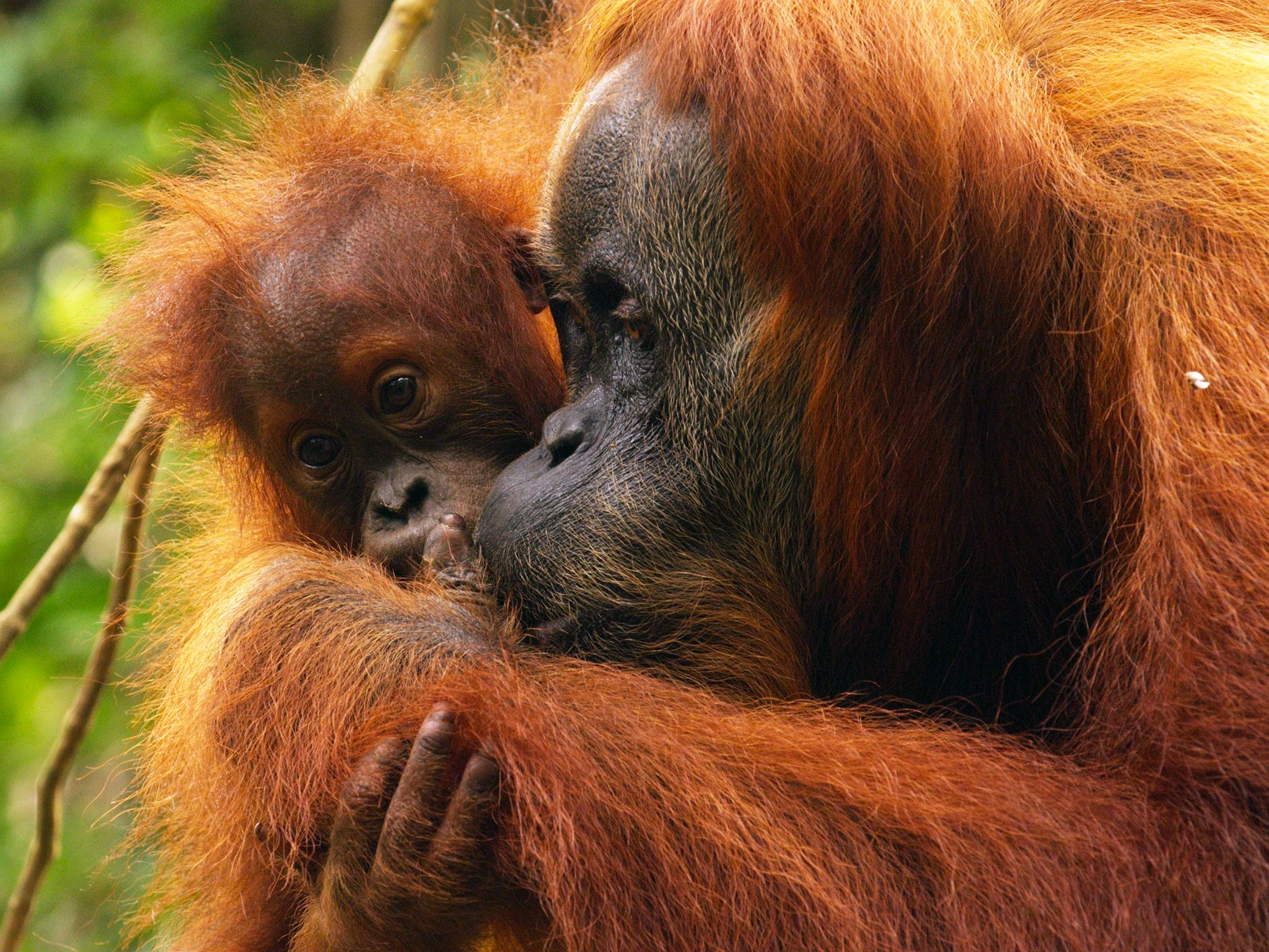 Aceh, Indonesia:  A young orangutan will spend up to 8 to 9 years with it's mother. This image is... [Photo of the day - april 2015]