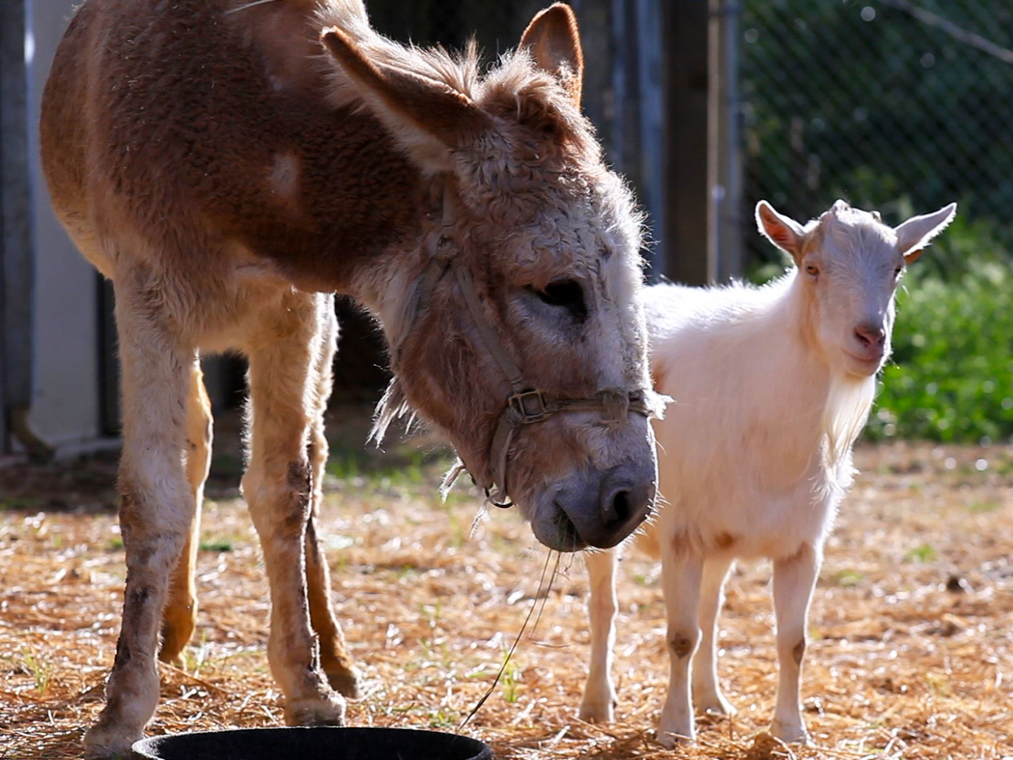 Grass Valley, CA.:  Unlikely animal friends Jellybean, a donkey, and  Mr. G, a goat, stand side-b... [Photo of the day - april 2015]