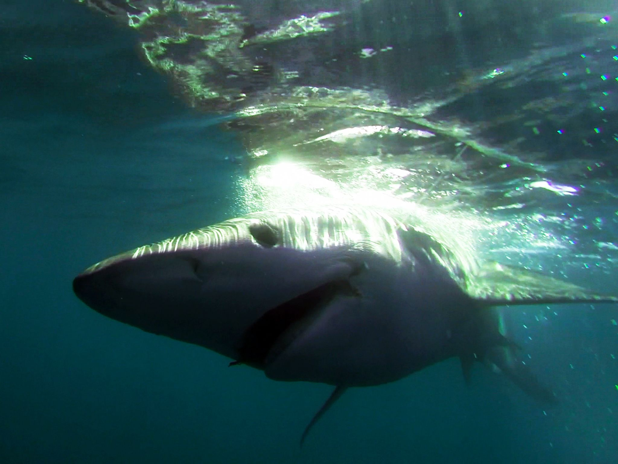Gloucester, Mass.: The nemesis of all tuna fishing captains, a shark. This image is from Wicked... [Photo of the day - April 2015]