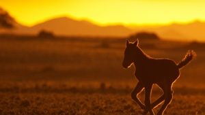 Namibia: A foal in the sunset. This i... [Dagens bilde - 20 APRIL 2015]