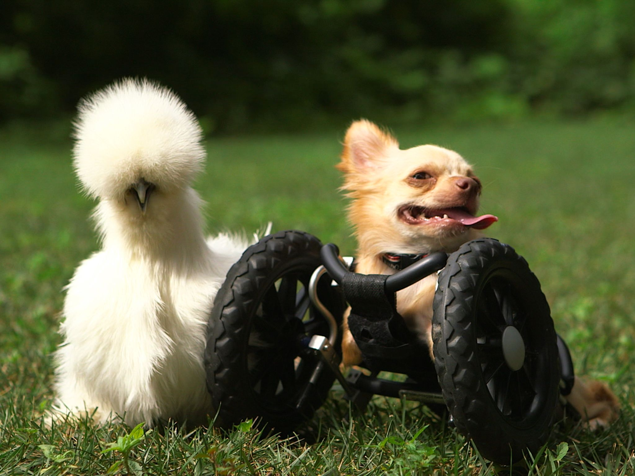 Two-legged chihuahua Roo is right next to his best buddy Penny, a silkie chicken. Both of these t... [Photo of the day - april 2015]