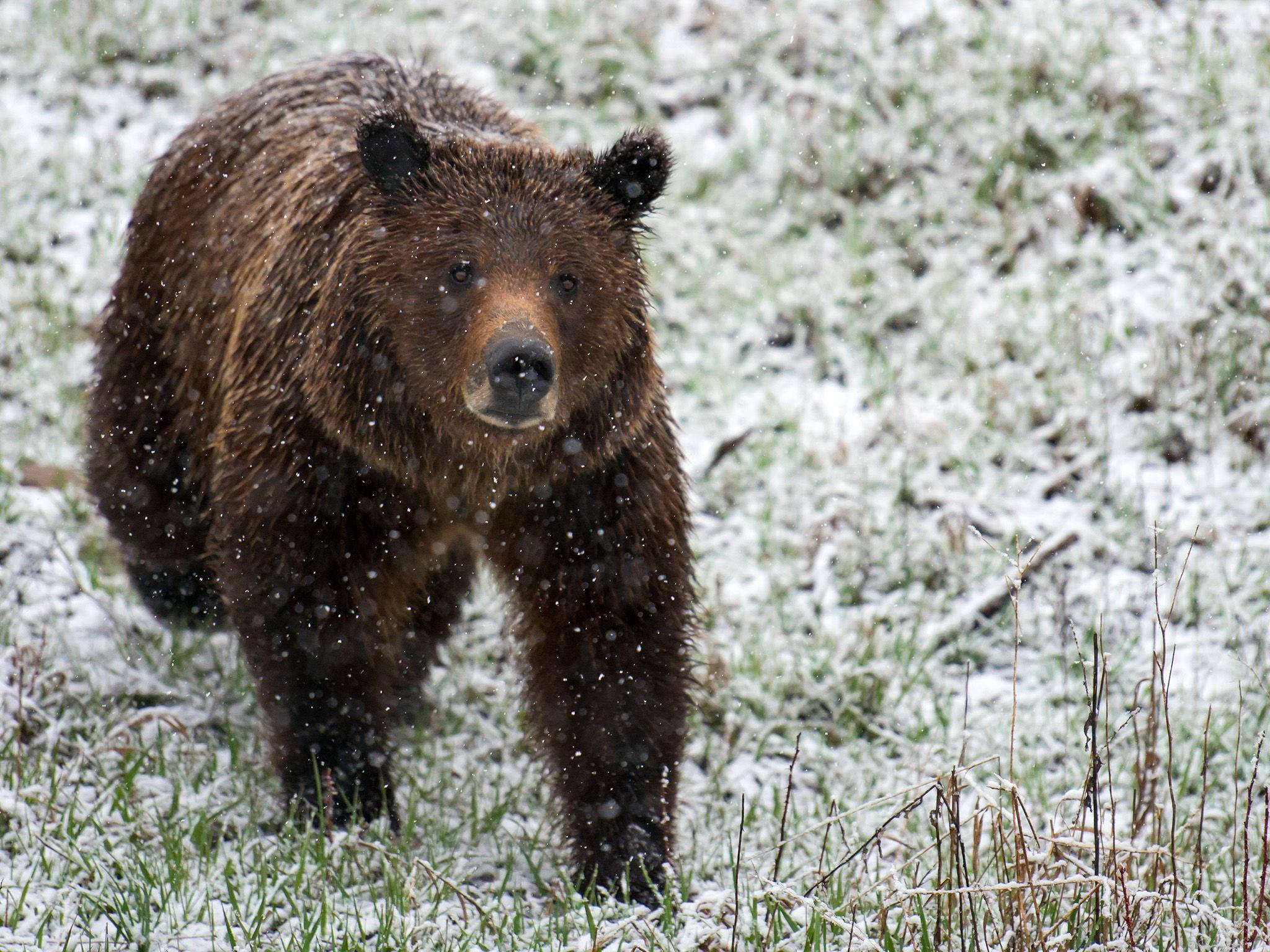 Un orso bruno cammina nel Parco nazionale del Grand Teton, nello stato del Wyoming, sotto la... [Foto del giorno - aprile 2015]