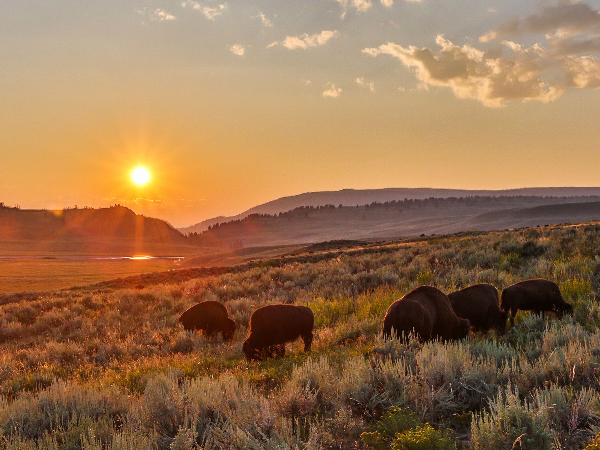 Yellowstone, Wyo.: Bison herd in summer evening light during the bison rut. This image is from... [Photo of the day - 四月 2015]