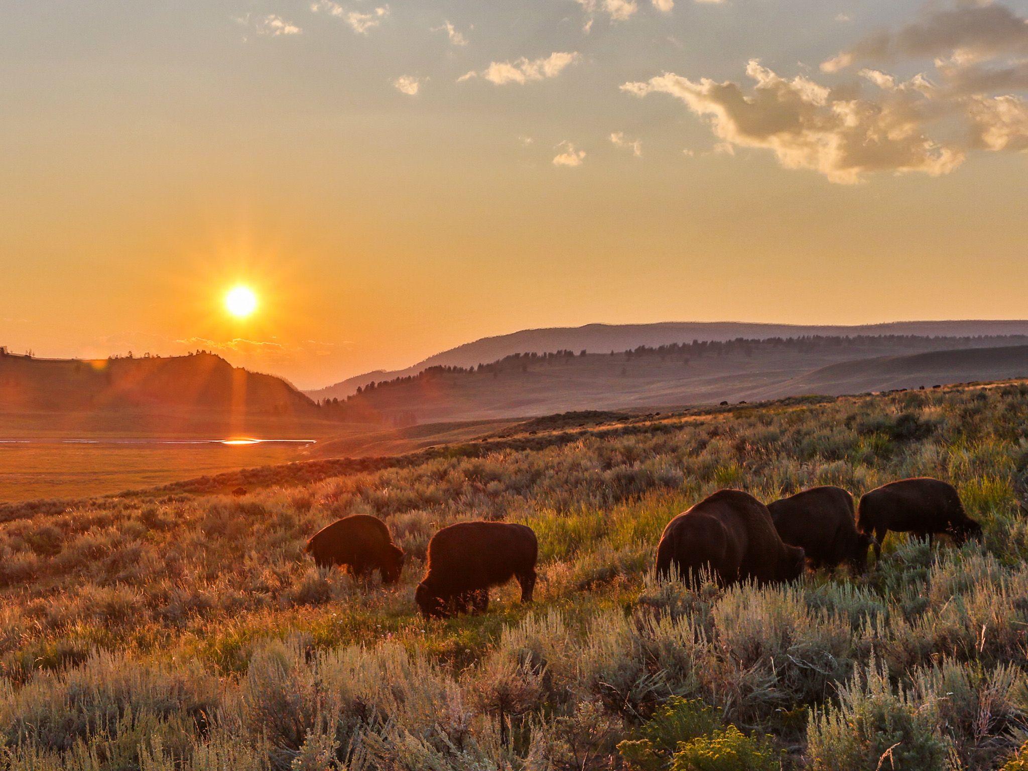 Yellowstone, Wyoming: una mandria di bisonti in un magico tramonto d'estate. [Foto del giorno - aprile 2015]