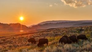 Yellowstone, Wyo.: Bison herd in summ... [Фото дня - 27 АПРЕЛЬ 2015]