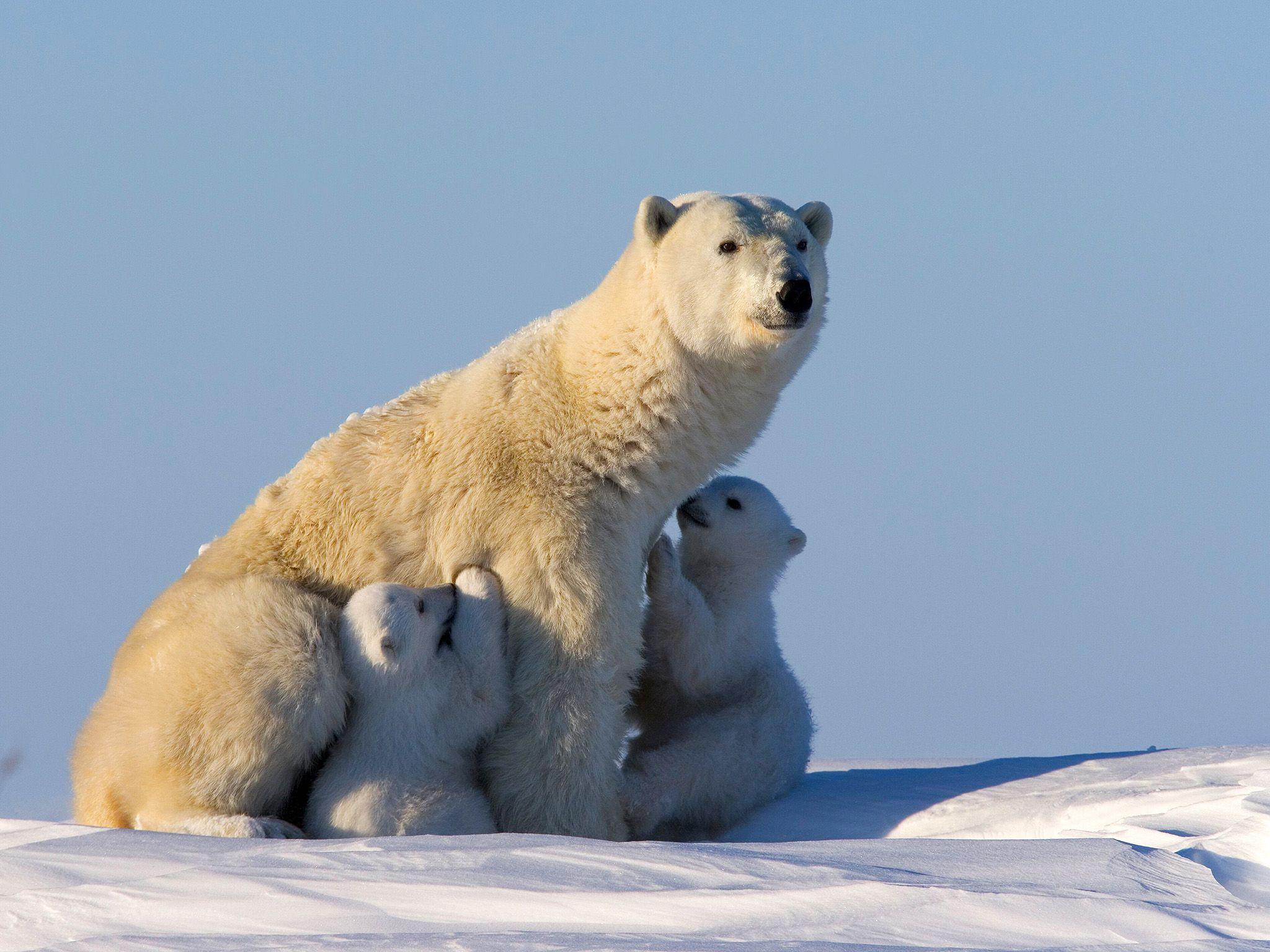 De camino al mar helado, la mamá oso va parando para amamantar a sus cachorros [Foto del día - abril 2015]