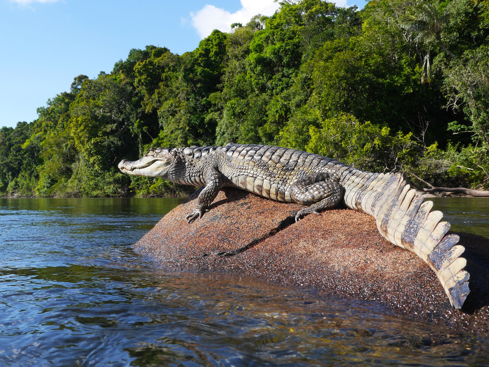 Guyana: A spectacled caiman suns itself on a rock in the Essequibo. This image is from . [Photo of the day - 五月 2015]