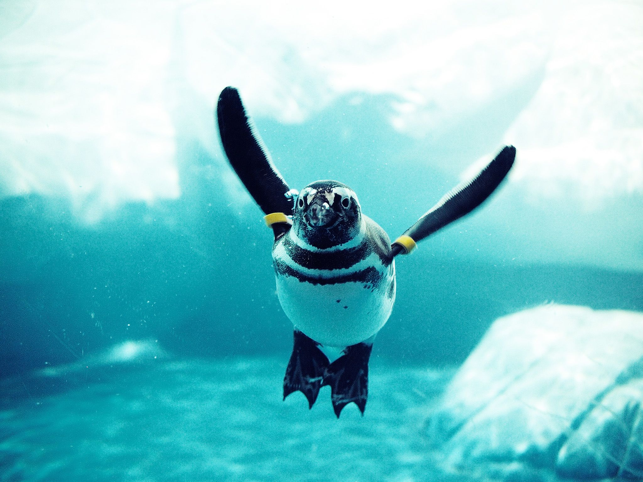 As birds that swim, penguins have to be on the lookout at all times in the water for hungry... [Photo of the day - May 2015]