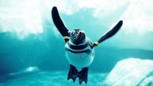 As birds that swim, penguins have to ... [Photo of the day -  7 MAIO 2015]