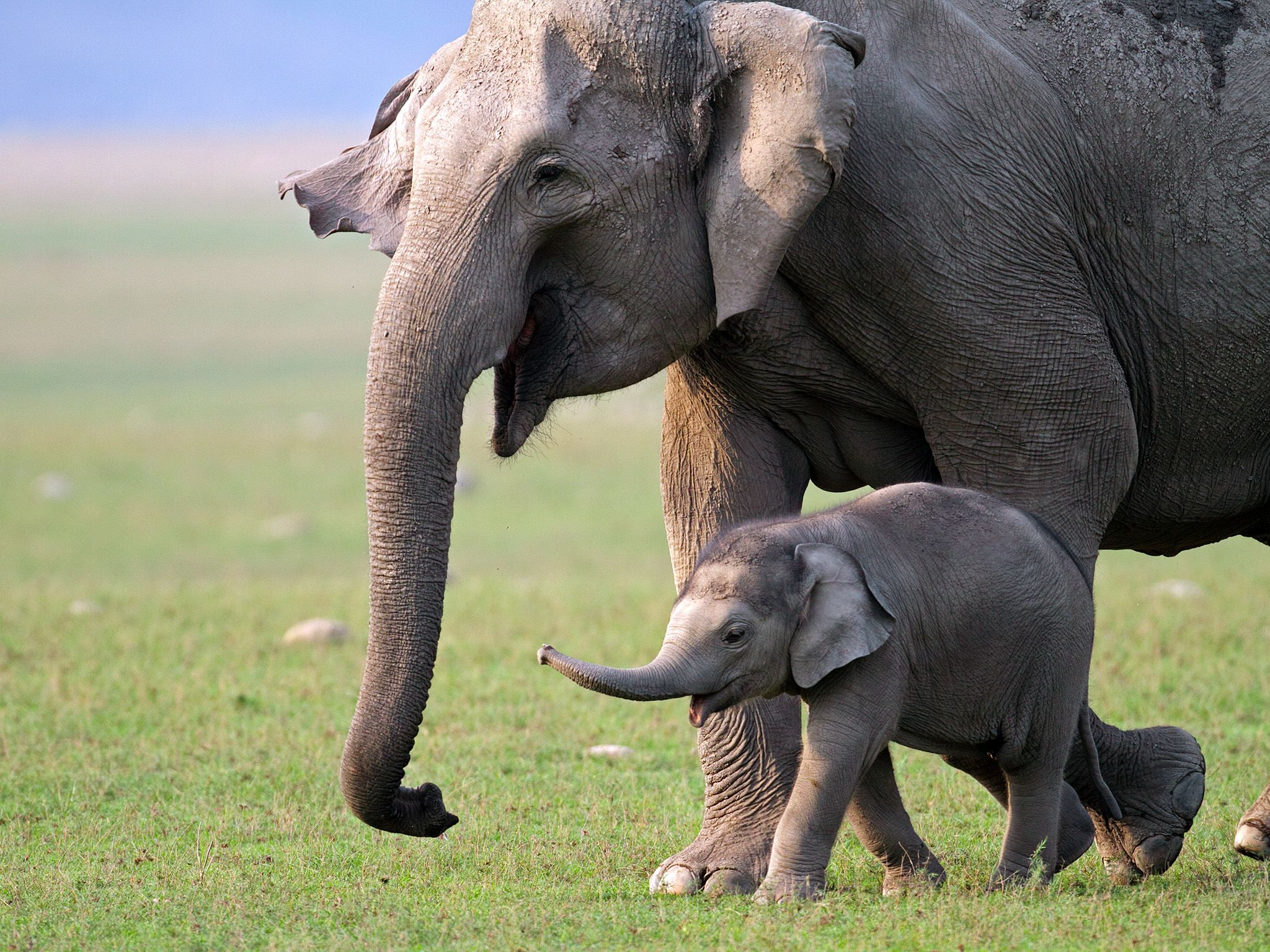 Elephants have complex systems of communication, which can be life-saving when a baby is in... [Photo of the day - 五月 2015]