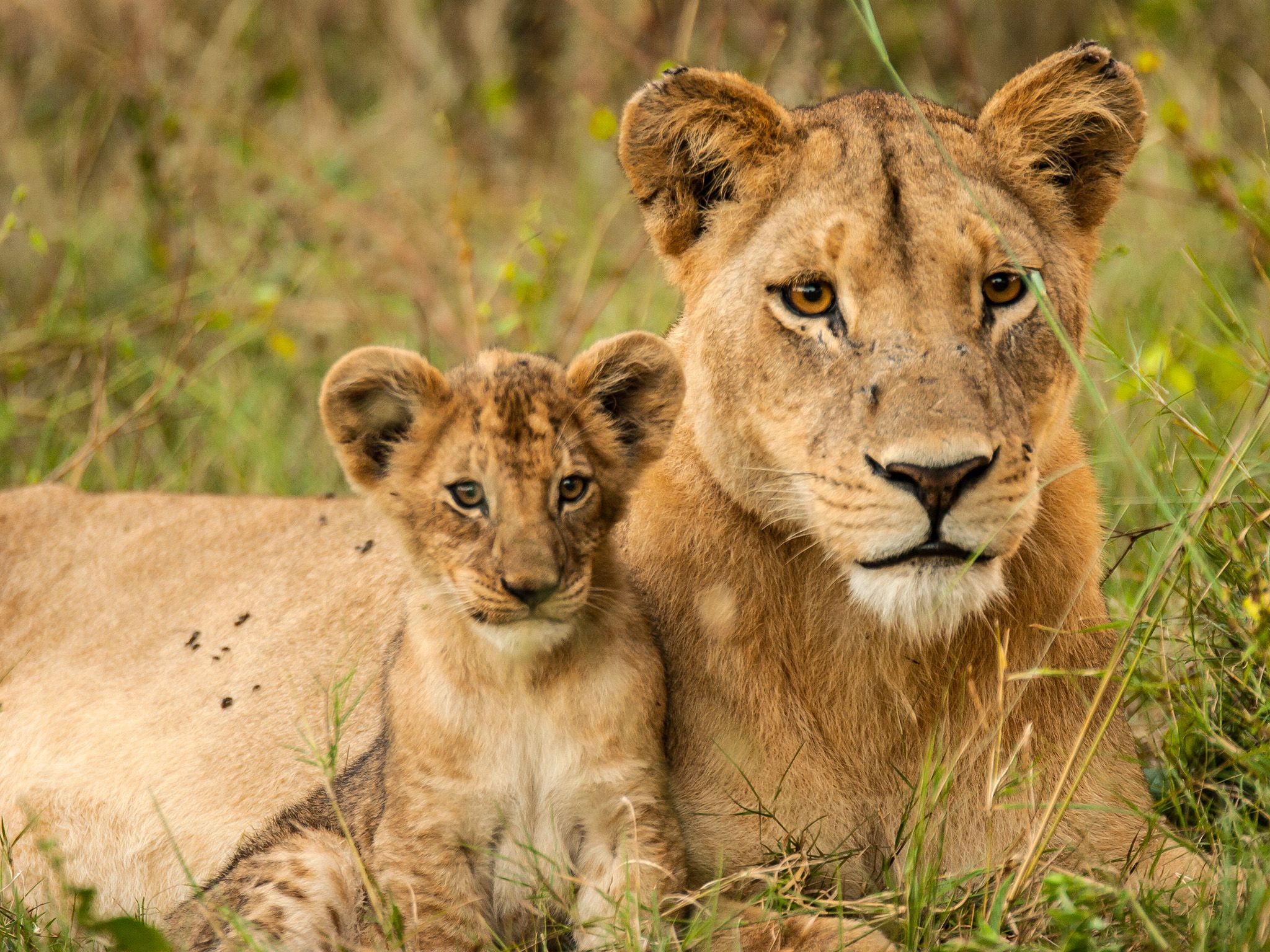 Lioness resting with cub. Cubs remain with their mother for 21 – 24 months. This image is fr... [Photo of the day - May 2015]