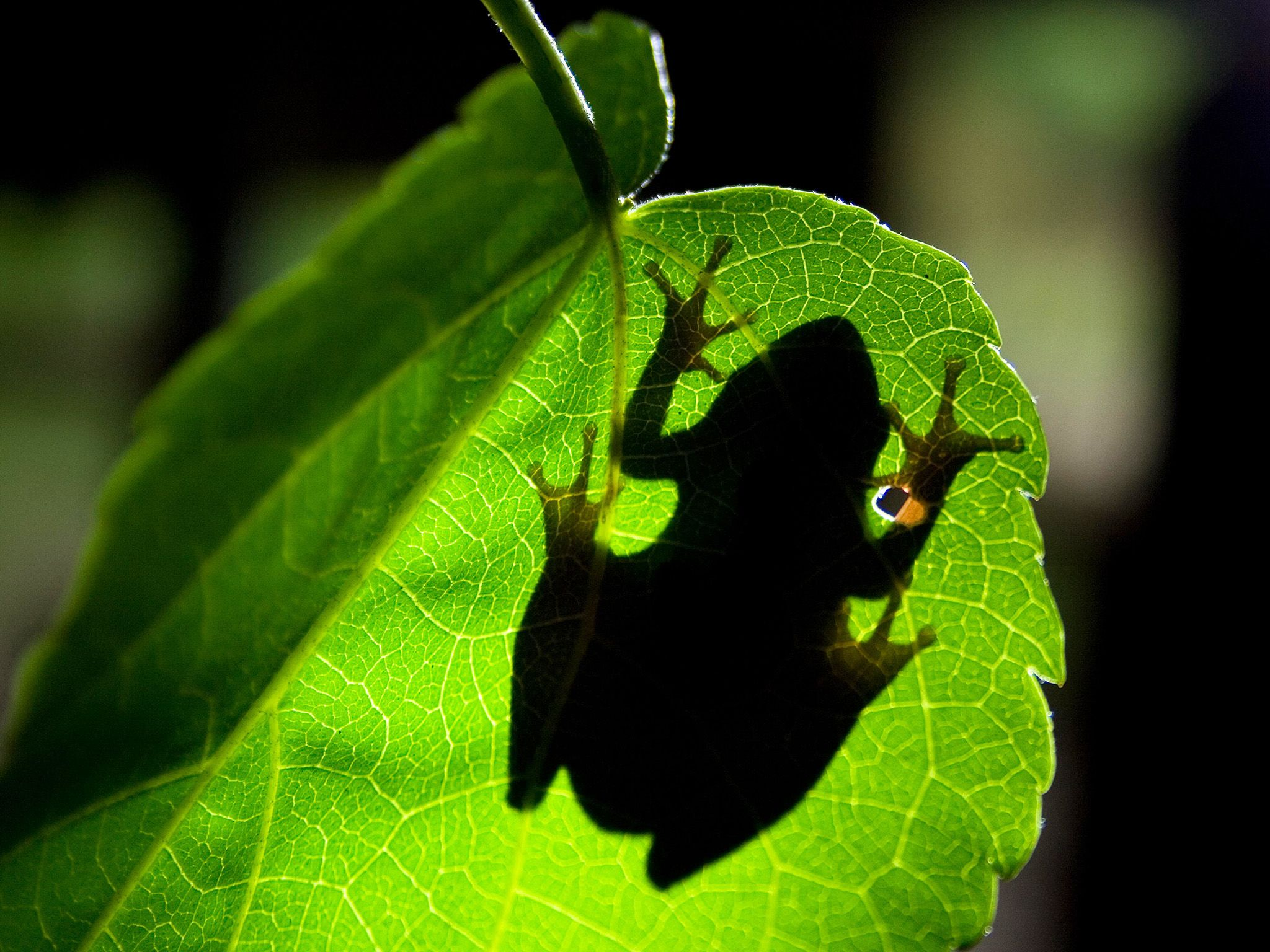 Underside shot looking up through leaf to silhouette of tree frog. Tree frogs distinctive disc-sh... [Photo of the day - May 2015]