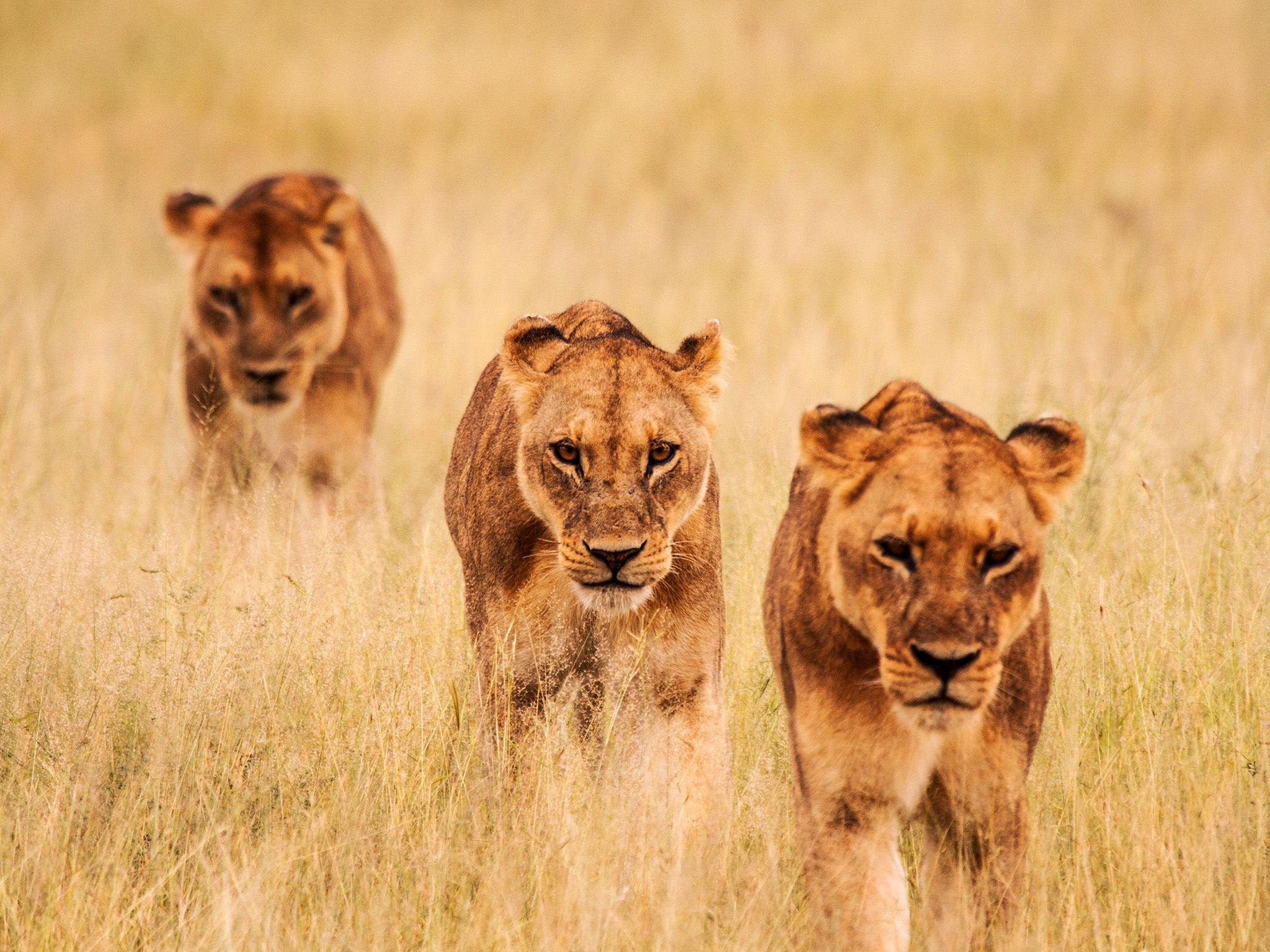 Three lioness hunting together. Females are mainly the hunters of the pride, while males only hun... [Photo of the day - May 2015]