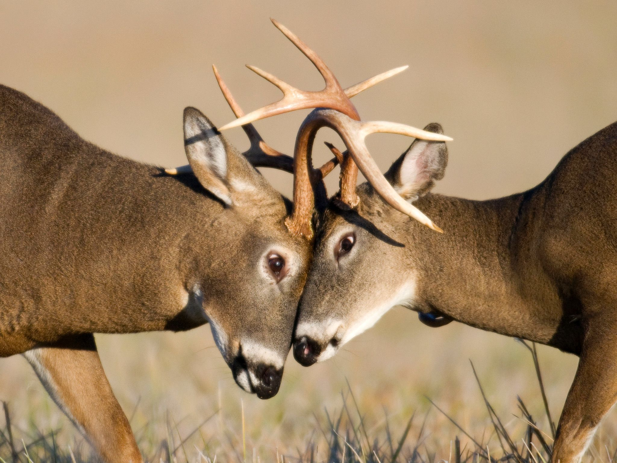 "The period when male deer challenge each other for dominance is called the ""rut."" Fights can end ... [Photo of the day - May 2015]"