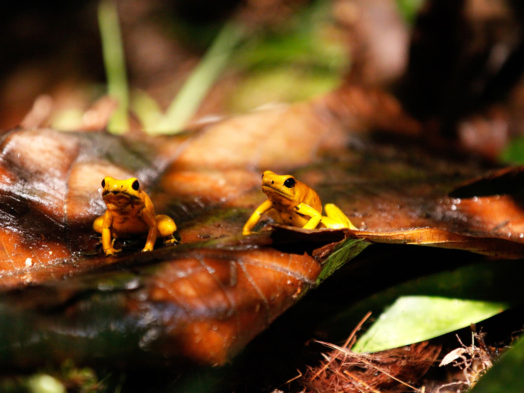The high humidity of this tropical rainforest makes it a paradise for amphibians. Endemic to a... [Photo of the day - May 2015]