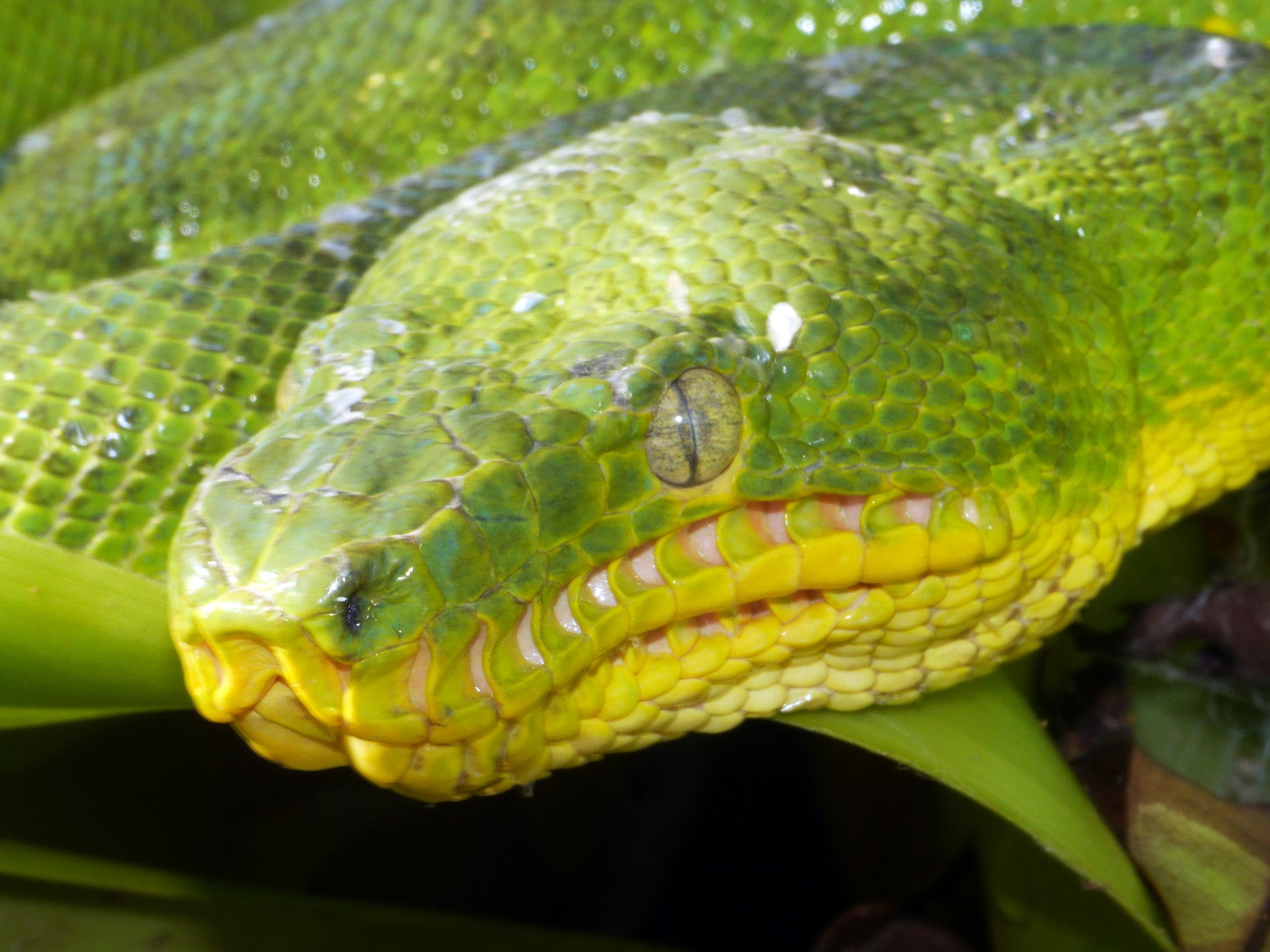 Guyana: The heat receptors around the emerald tree boa's mouth are clearly visible.  This im... [Photo of the day - May 2015]