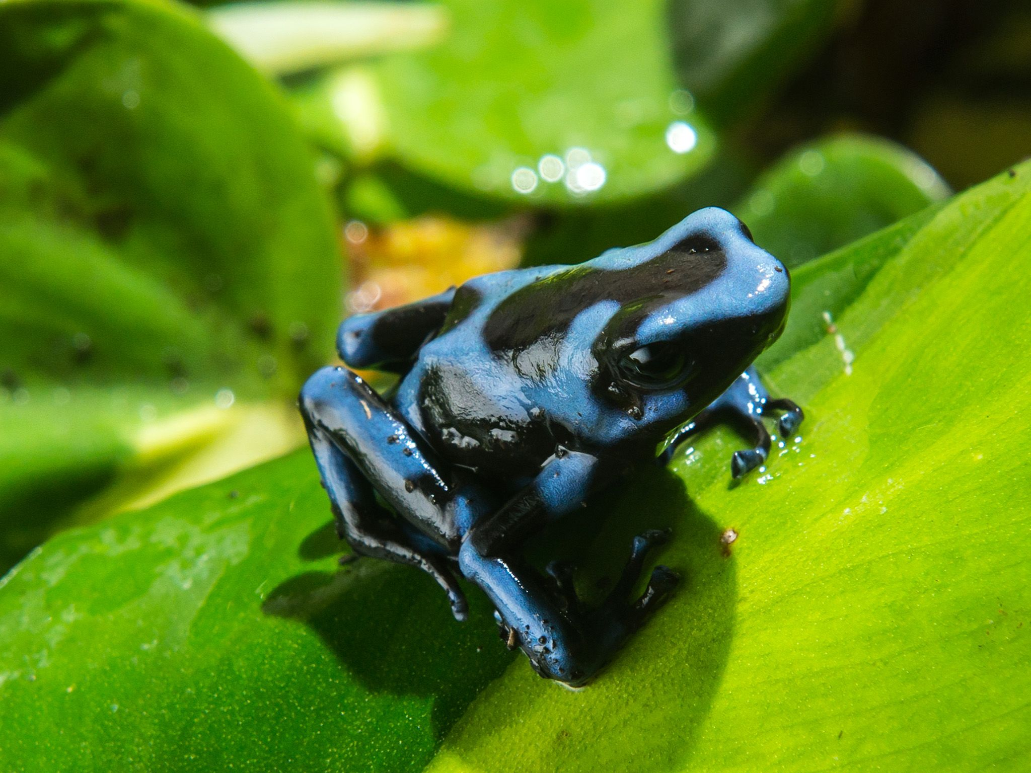 Medium shot of poison dart frog sitting on leaf. Their bright colours signify danger to those who... [Photo of the day - May 2015]