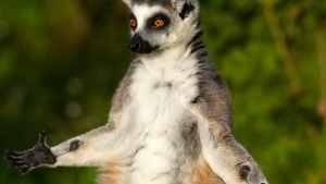 Ring tailed lemurs stop often to bask... [Photo of the day - MAY 24, 2015]