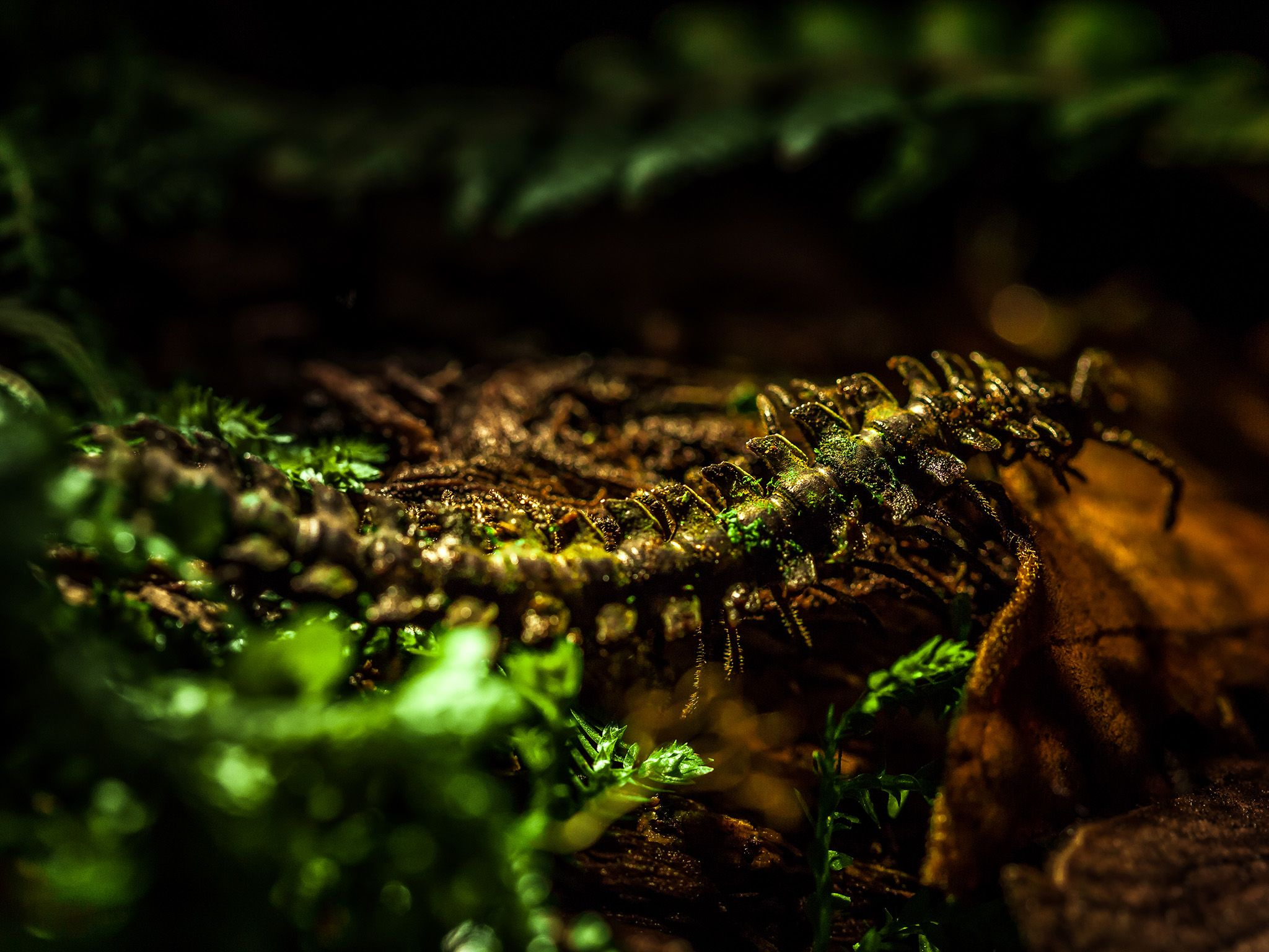 Moss millipede is endemic to the Cloud Forests of the Southern Choco and camouflages itself by gr... [Photo of the day - May 2015]
