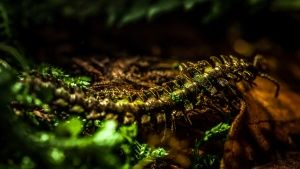 Moss millipede is endemic to the Clou... [Photo of the day - MAY 25, 2015]