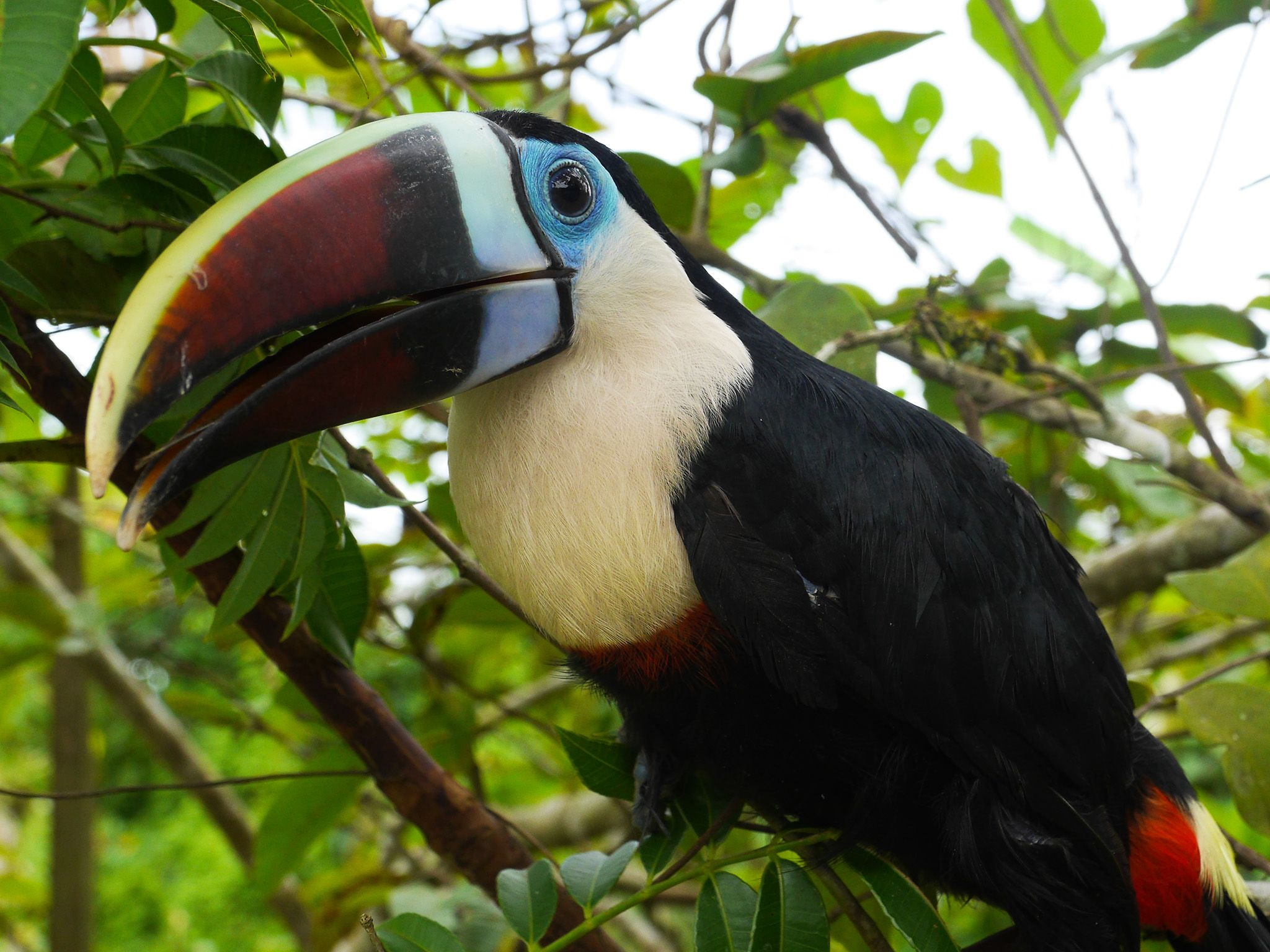 Guyana: A richly colored toucan. This image is from  Anaconda: Silent Killer. [Photo of the day - 五月 2015]