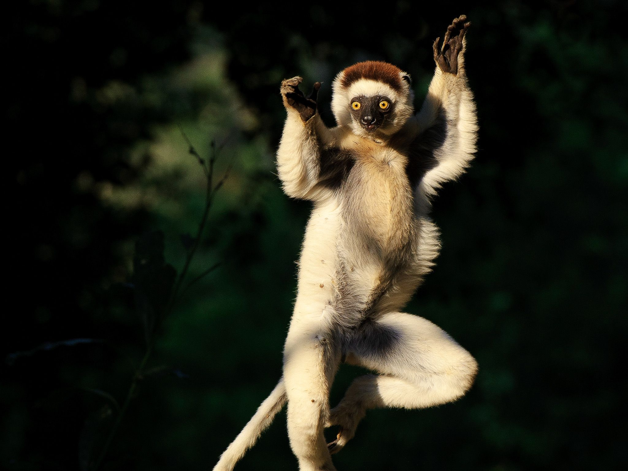 Shifaka lemurs have strong legs and torso which means they move in a peculiar sideways hop,... [Photo of the day - می 2015]
