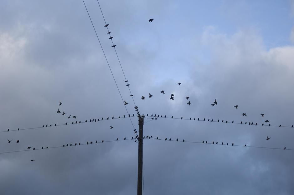 Starlings on phone lines in Fairbury, Nebraska. [Dagens foto - maj 2011]
