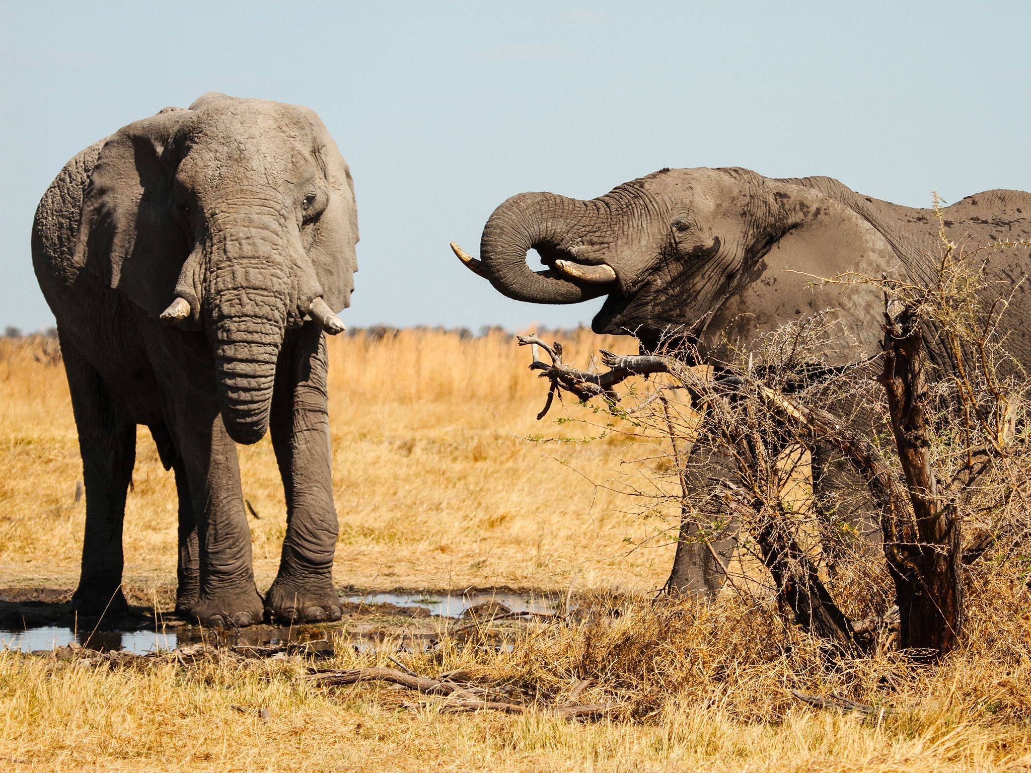 Two elephants standing and drinking from small water source.  The water holes also give... [Photo of the day - June 2015]