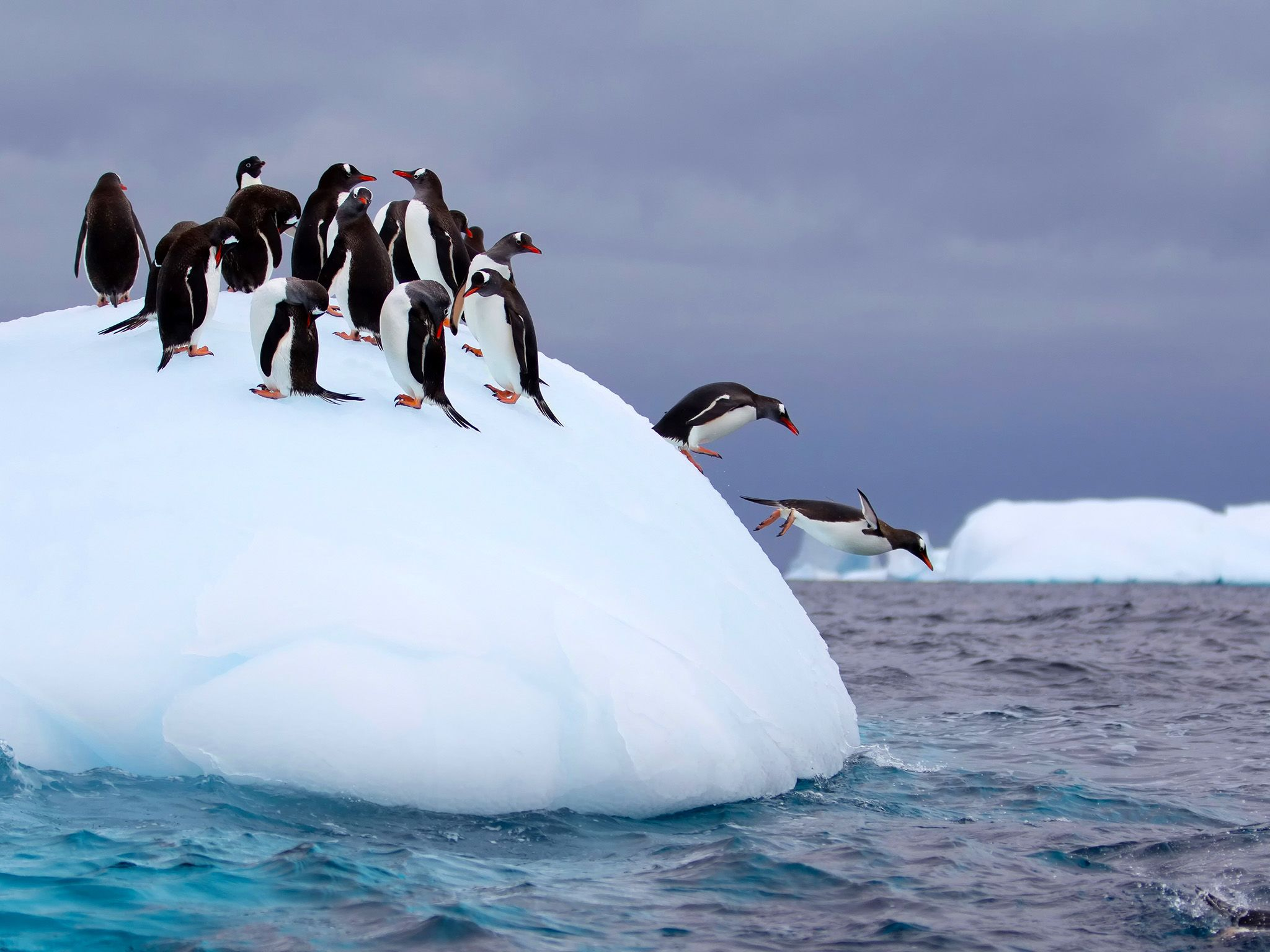 Gentoo penguins flee the depths of Antarctica's weather by migrating north on expanding sea ice.... [Photo of the day - June 2015]