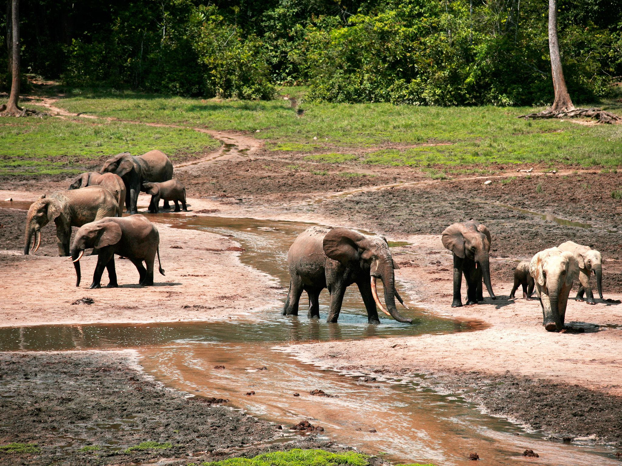 Many rainforest plants contain toxins to deter browsers so forest elephants use the mud to... [Photo of the day - June 2015]