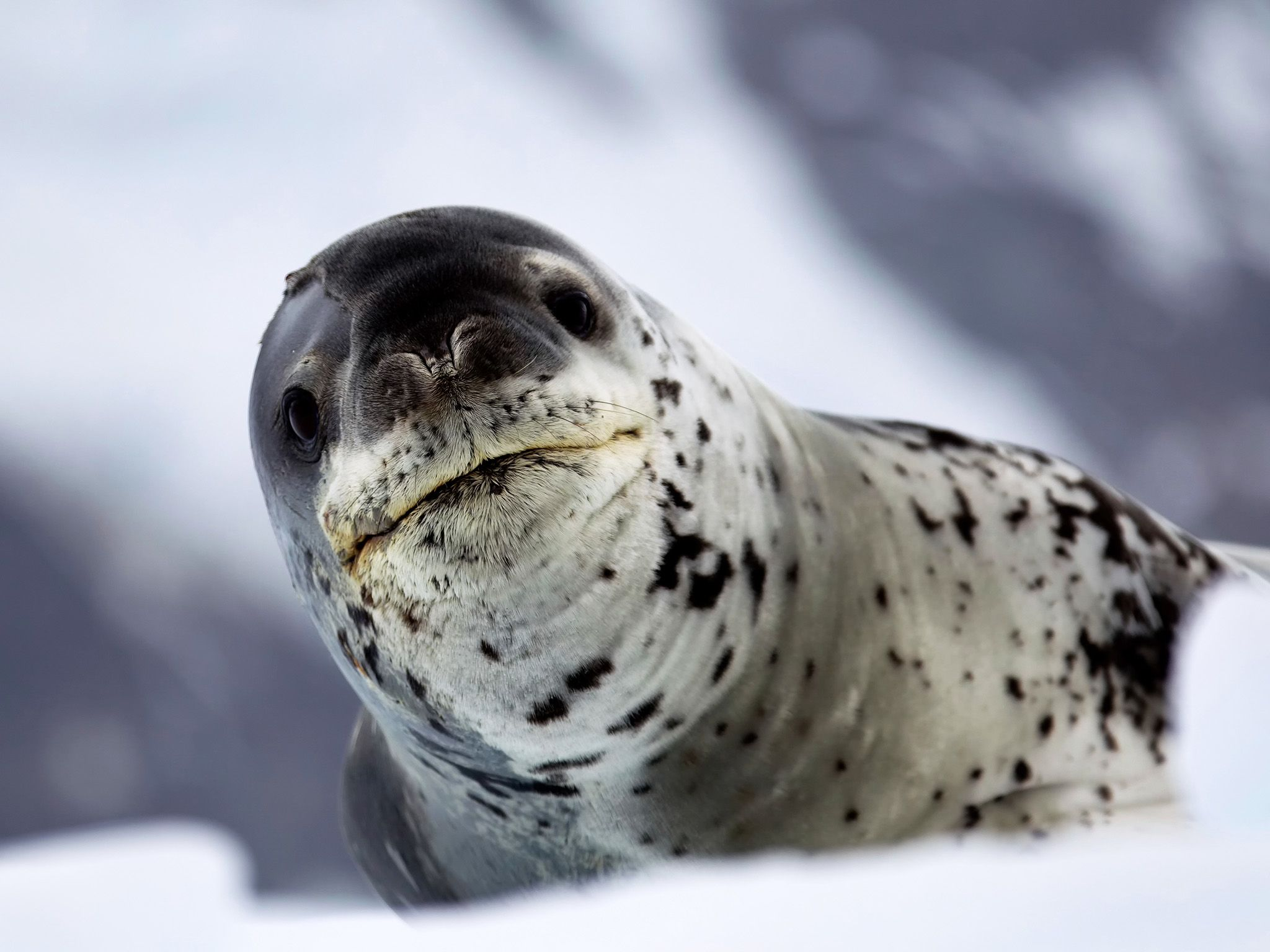 Leopard seals are one of Antarctica's apex predators. This image is from Wild Antarctica. [Photo of the day - June 2015]