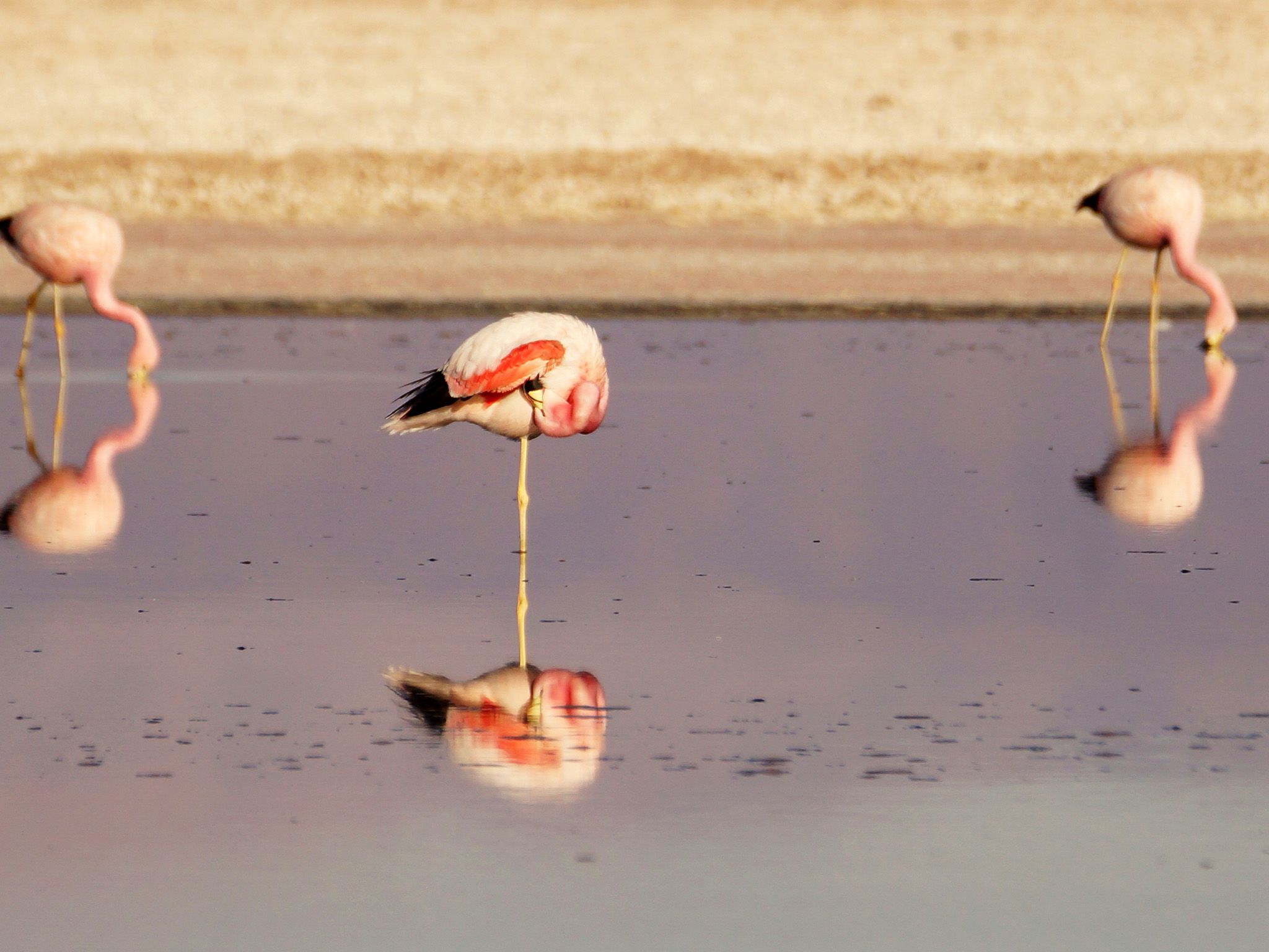 Andean flamingo  -dances in shallow salt lakes to stir up brine-their distinctive red color... [Photo of the day - June 2015]