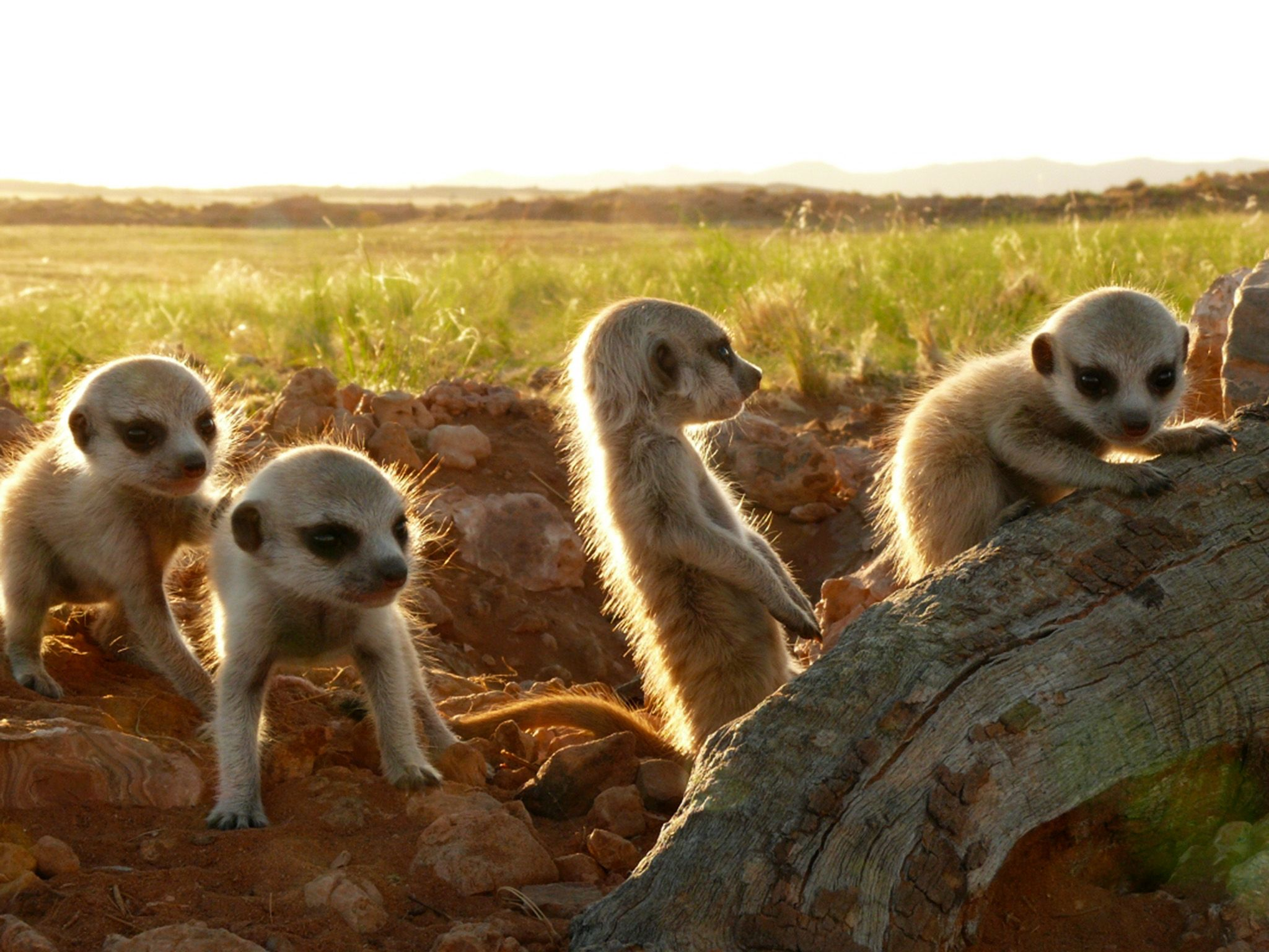 As soon as the little meerkats are old enough to come out of their den, the curiosity is bigger... [Photo of the day - June 2015]