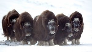 Musk oxen are well adapted to a life ... [Photo of the day - 27 JUNE 2015]