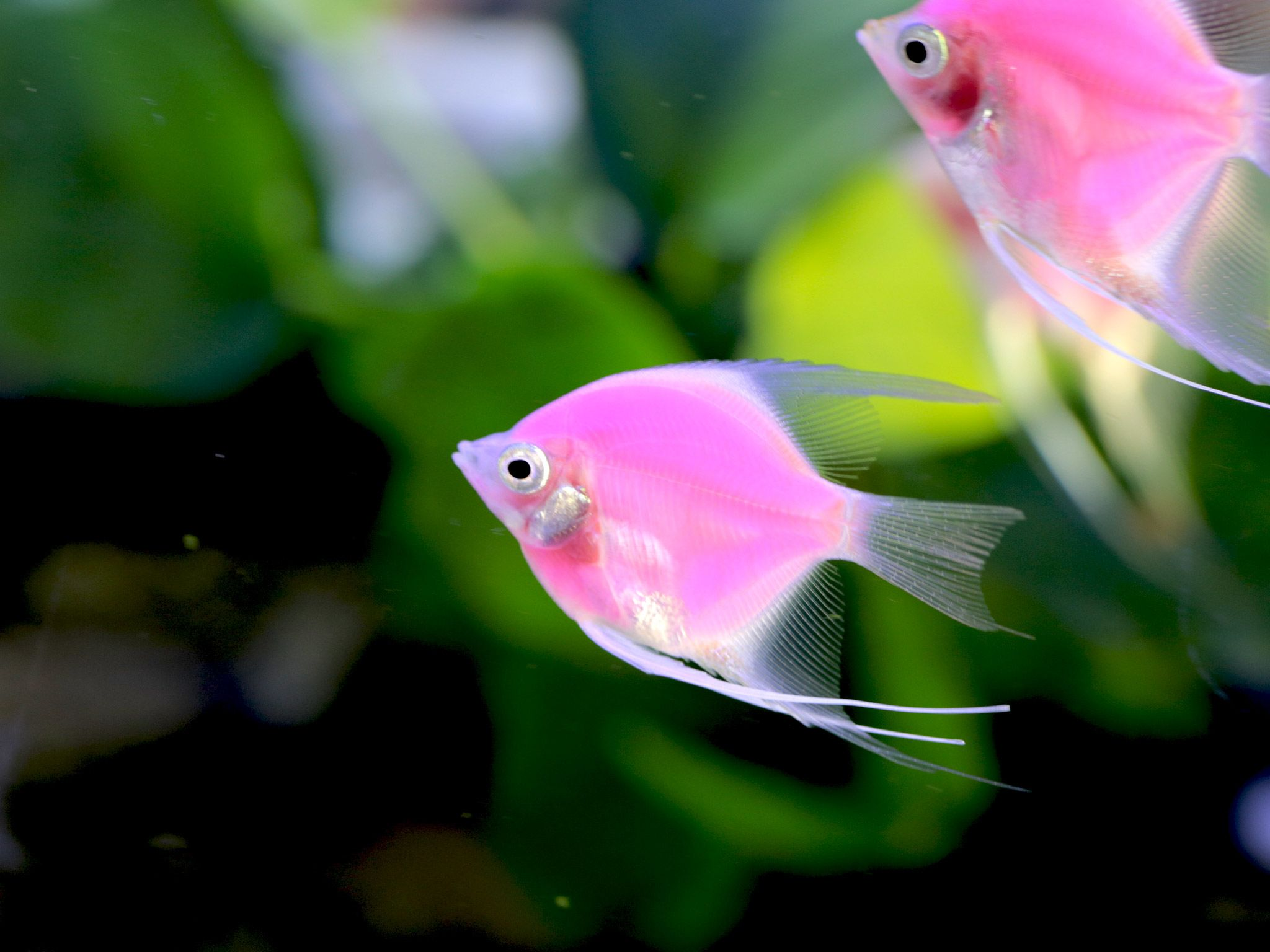 A Pink Fluorescent angelfish.