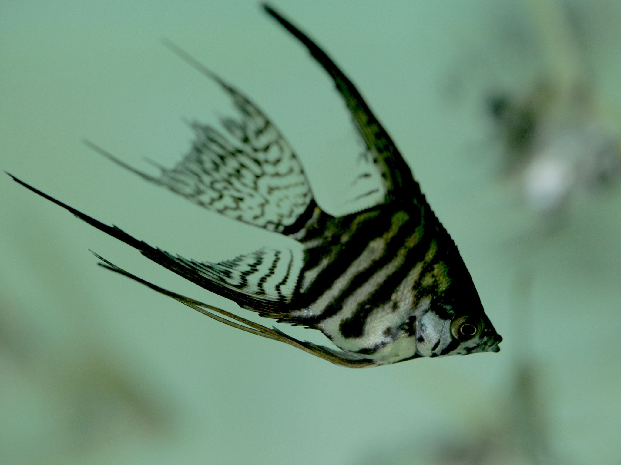 An  angel fish. [Foto del día - julio 2015]
