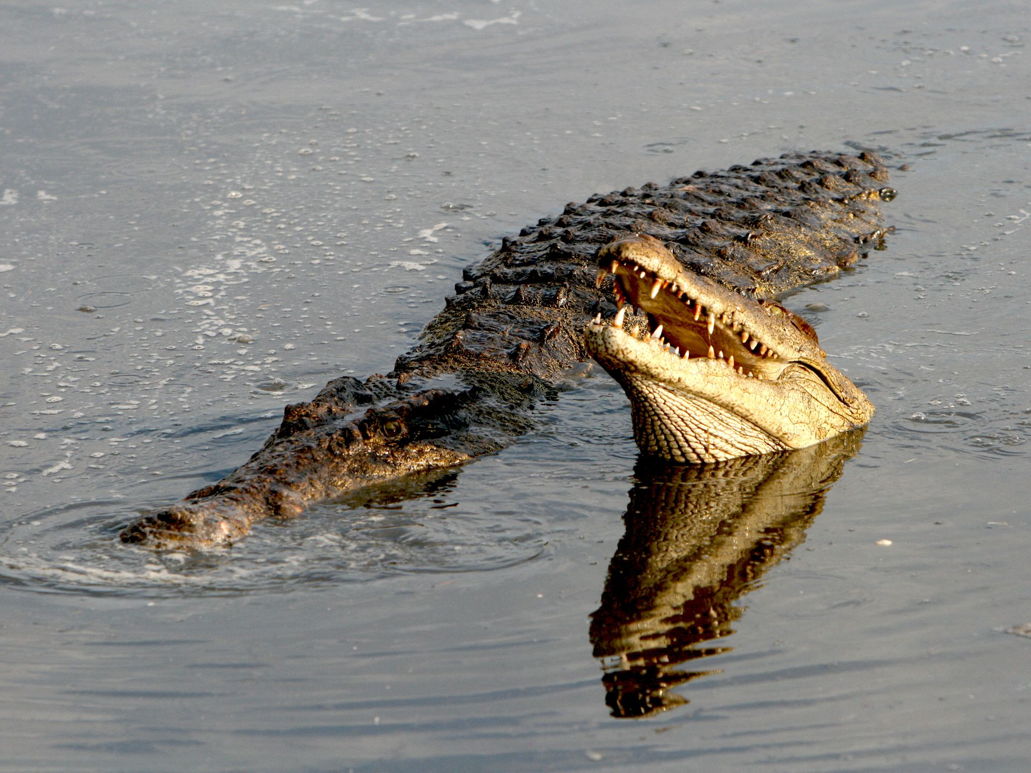 The diet of the Nile crocodile is mainly fish, but it will attack almost anything unfortunate eno... [Photo of the day - July 2015]