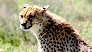 Cheetah shows off it's sharp teeth. [Fotografie dne -  1 ČERVENEC 2015]
