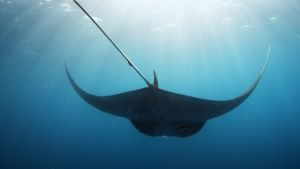 A Giant Manta swims through blue waters. [Fotografia zilei -  5/07/2015]