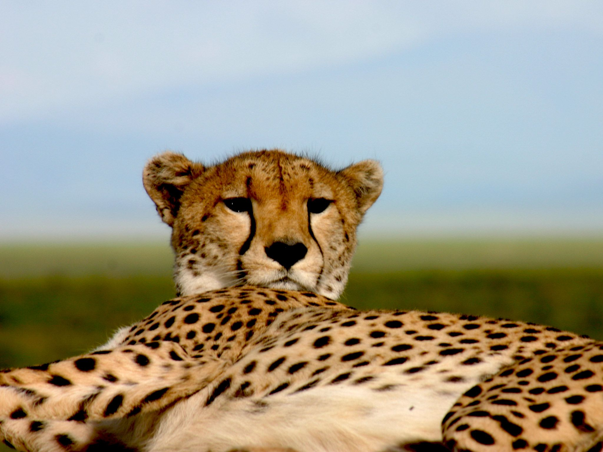 Most wild cheetahs are found in eastern and southwestern Africa. [Photo of the day - July 2015]