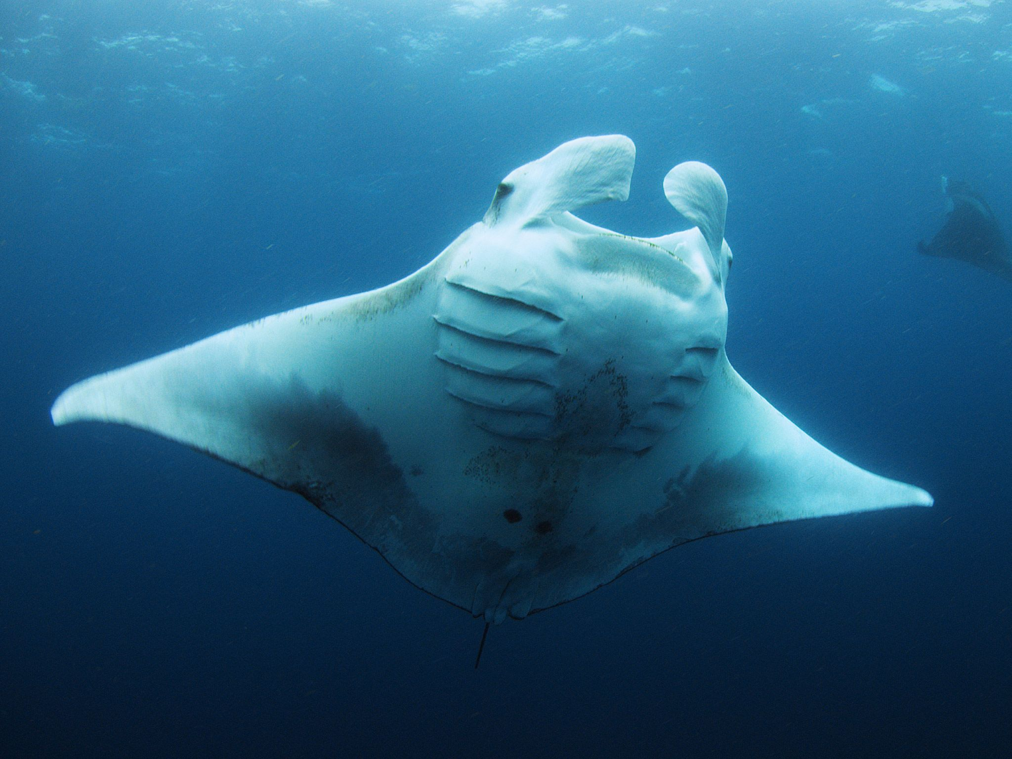 A Giant Manta swims through blue waters. [Photo of the day - July, 2015]