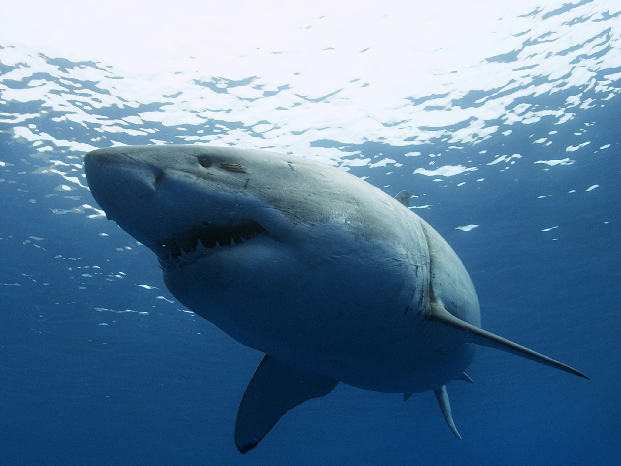 A Great White Shark. [Photo of the day - July 2015]