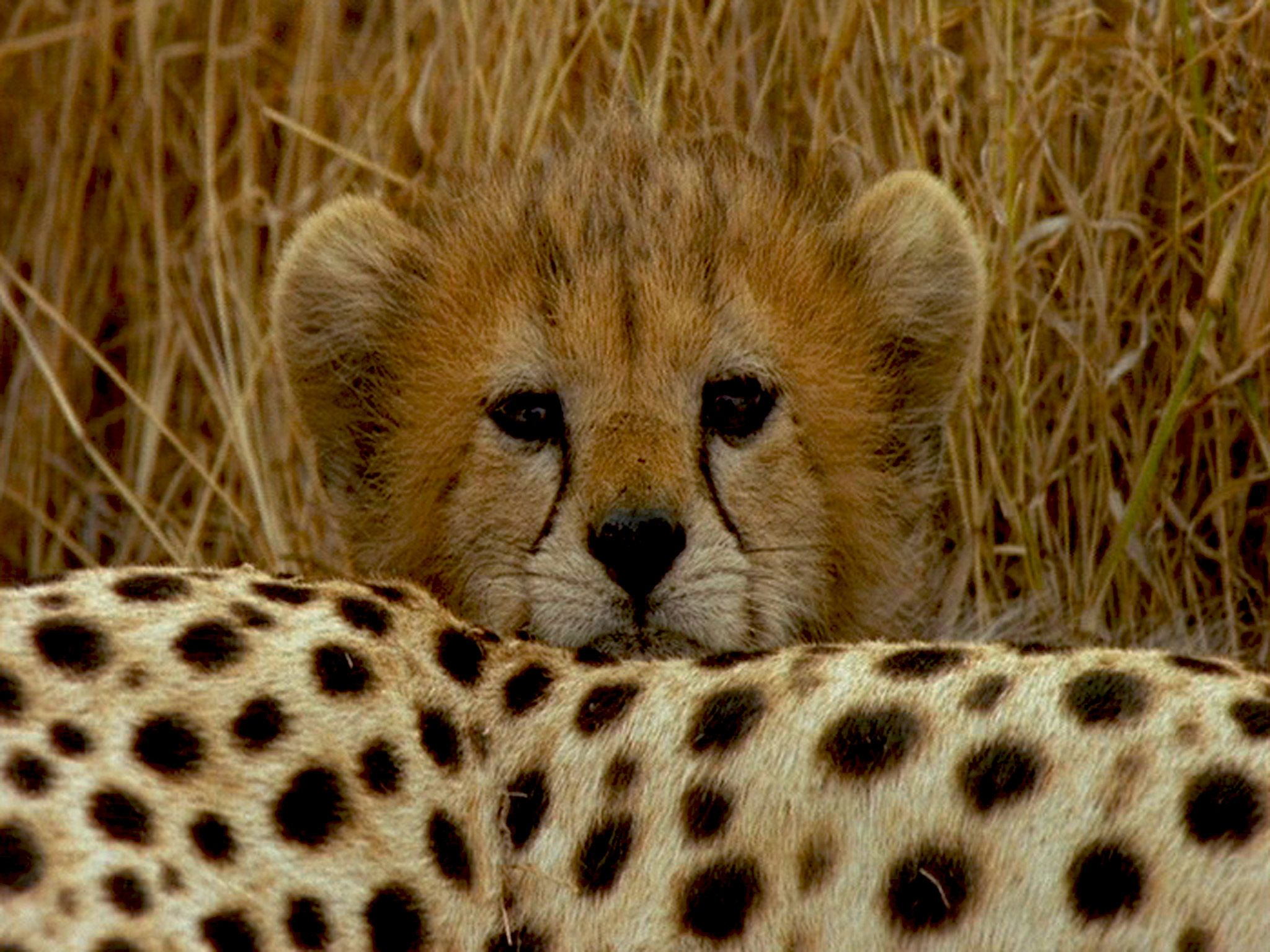 A Cheetah cub peers over its mother. [Photo of the day - ژولیه 2015]