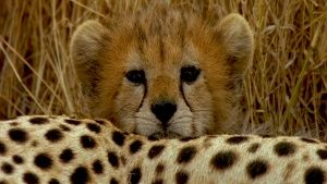 A Cheetah cub peers over its mother. [Photo of the day - 25 JULY 2015]