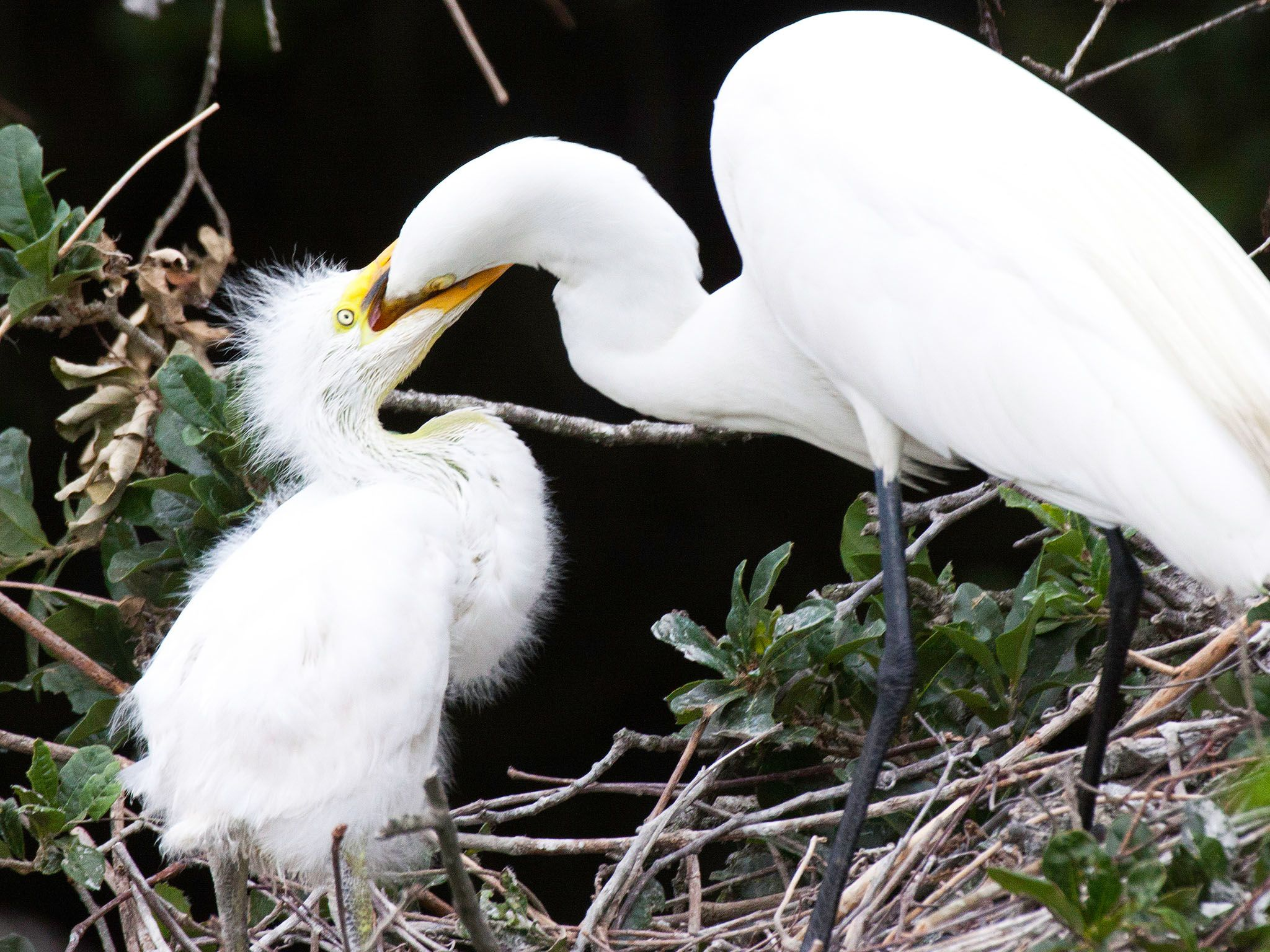 In Snowey egrets, the two oldest and strongest chicks often kill the younger and weaker one.  The... [Фото дня - Август 2015]