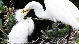 In Snowey egrets, the two oldest and ... [Photo of the day -  4 اگوست 2015]