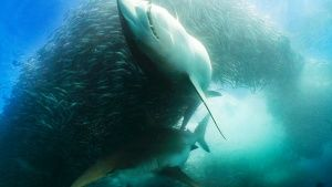 South Africa: Underwater scene of two... [Photo of the day - 25 AUGUSTUS 2015]