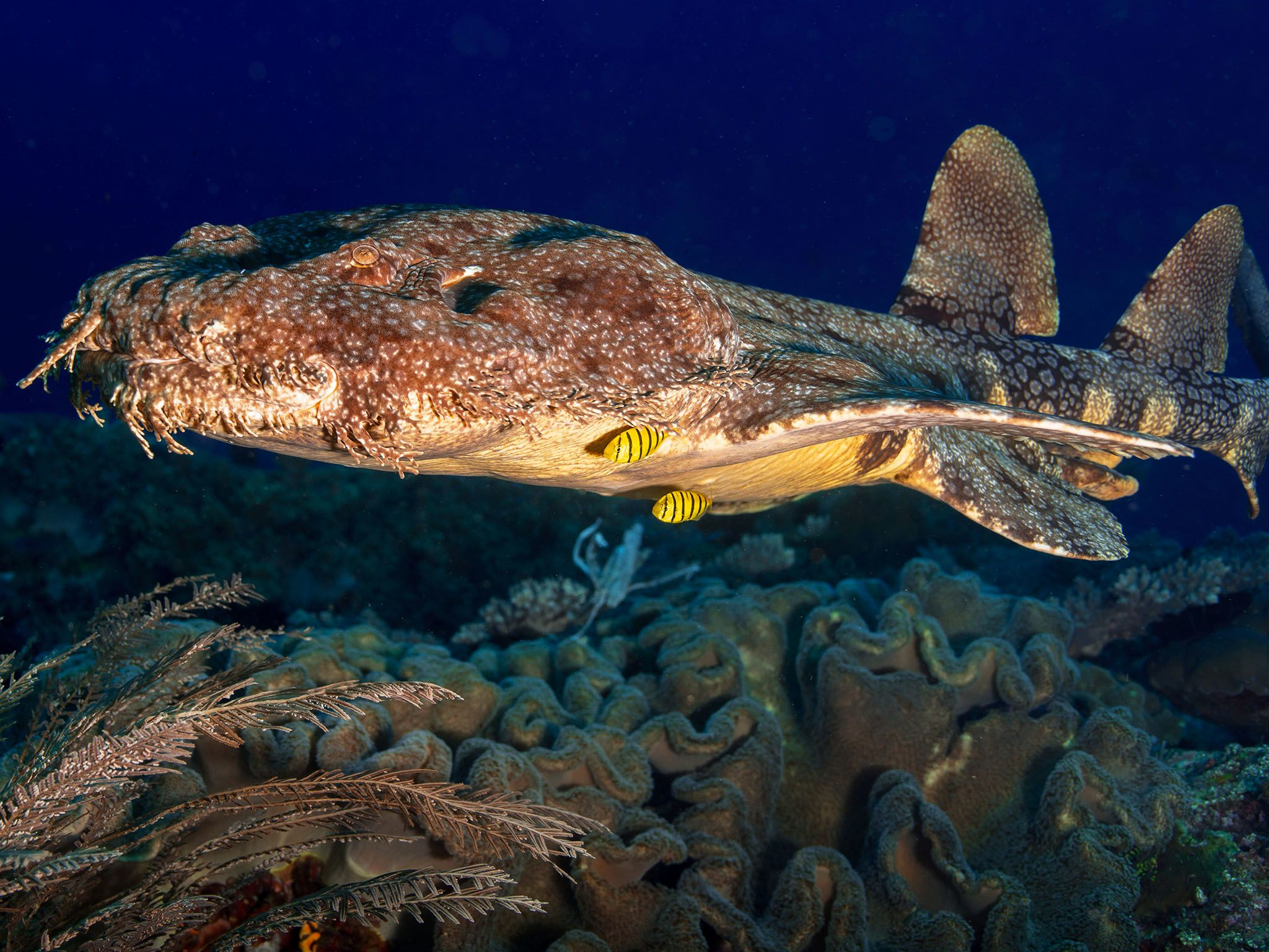 The wobbegong is the giant whale shark's closest relative. This image is from World's Weirdest. [Фото дня - Август 2015]