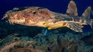 The wobbegong is the giant whale shar... [Фото дня - 27 АВГУСТ 2015]