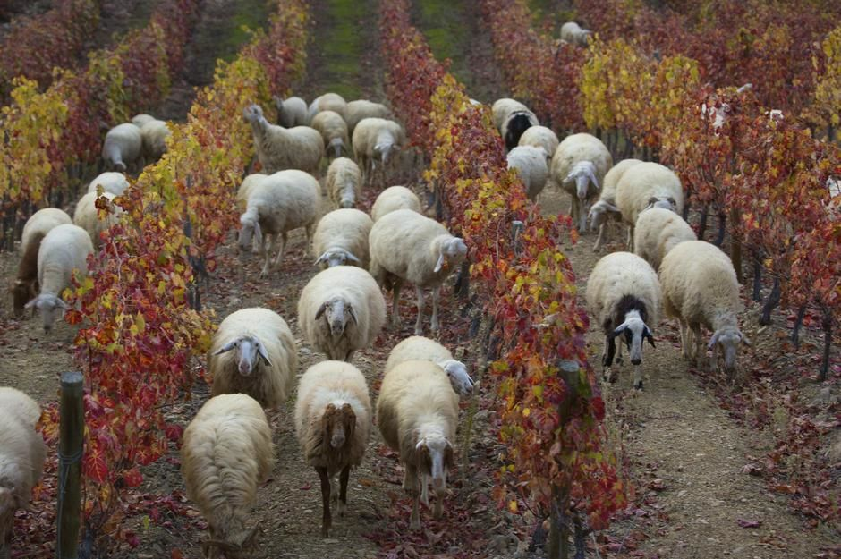 Sheep grazing in a vineyard in the fall, Douro River Valley. [  -  2011]